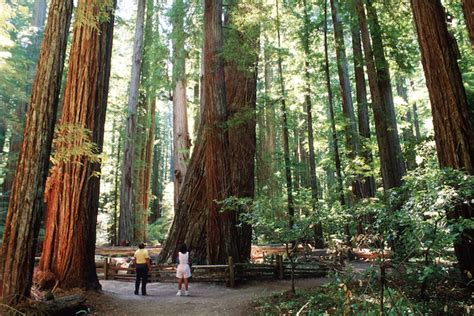 Will the Drought Topple California's Towering Redwoods