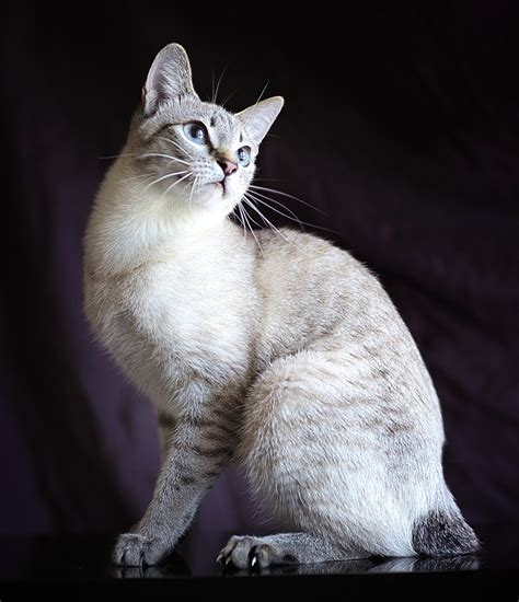 Mekong bobtail - Information, Health, Pictures & Training