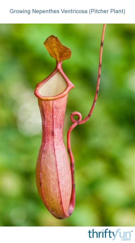 Growing Nepenthes Ventricosa (Pitcher Plant)   ThriftyFun