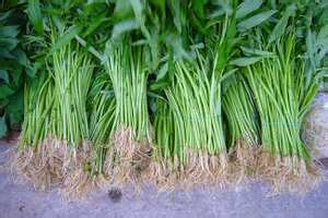 Water spinach: Wiki facts for this cookery item
