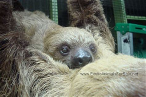 Sloths For Sale