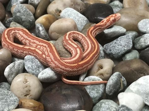 For Sale Limited Snakes left - FaunaClassifieds