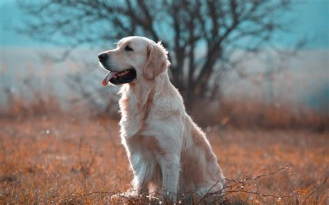 Golden Retriever Wallpapers, Pictures, Images