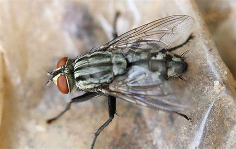 House Fly Identification & Prevention | Common Flies In