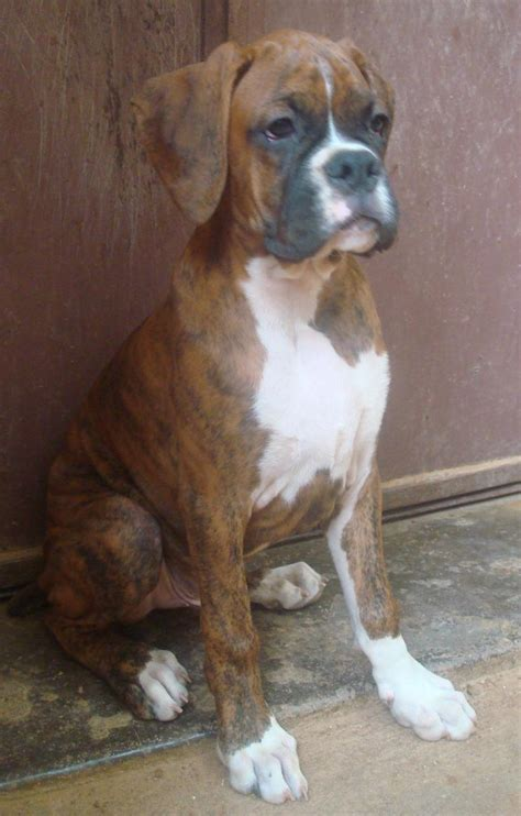 Boxer Puppies for Sale(Anand 1)(11786) | Dogs for Sale