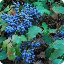 Oregon Grape Seeds - Heirloom Untreated NON-GMO From Canada